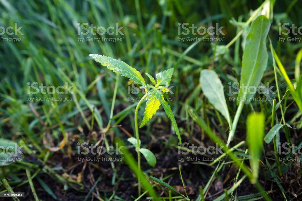 Young cannabis plant growing outdoors. Natural medicine. royalty-free stock photo