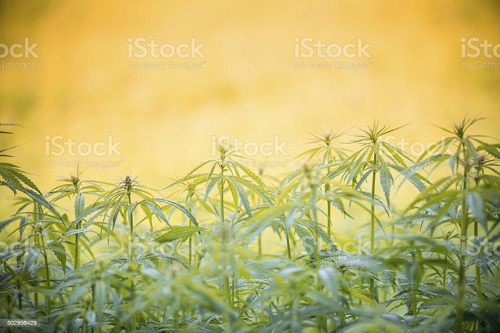 Young cannabis plants, marijuana stock photo