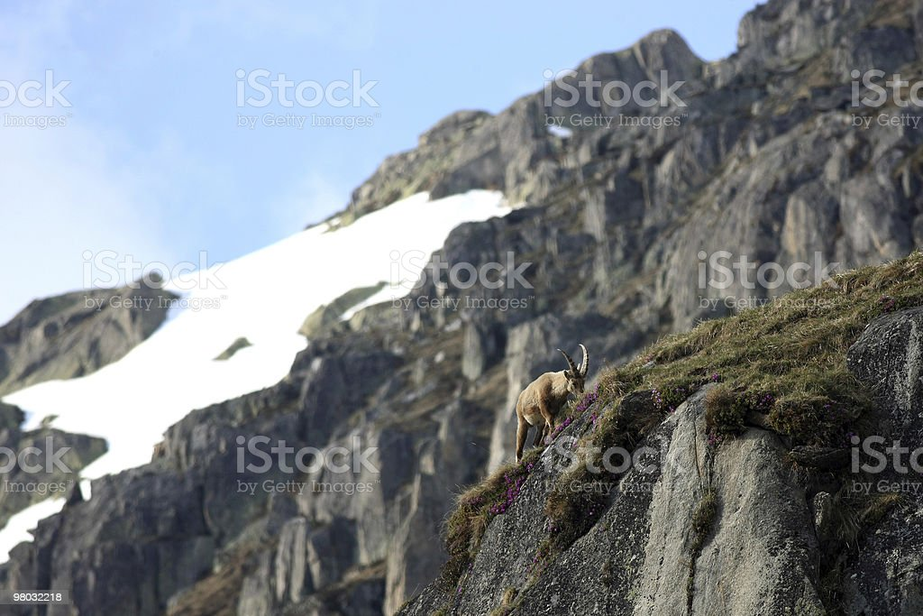 Young Capra Ibex royalty-free stock photo