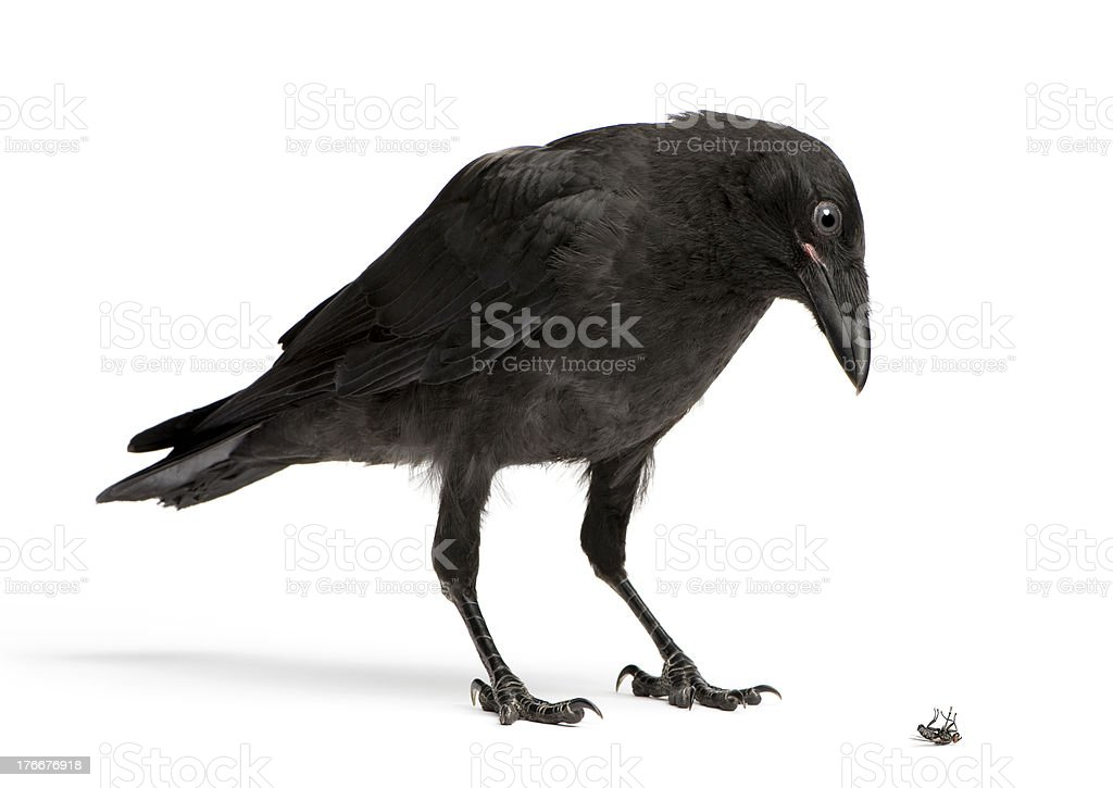 Young Carrion Crow Looking down at a dead fly. stock photo