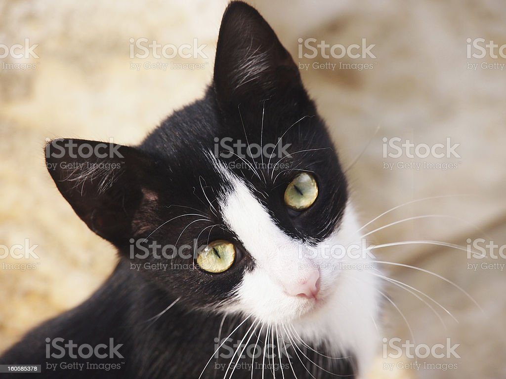 young cat, black and white, close-up stock photo
