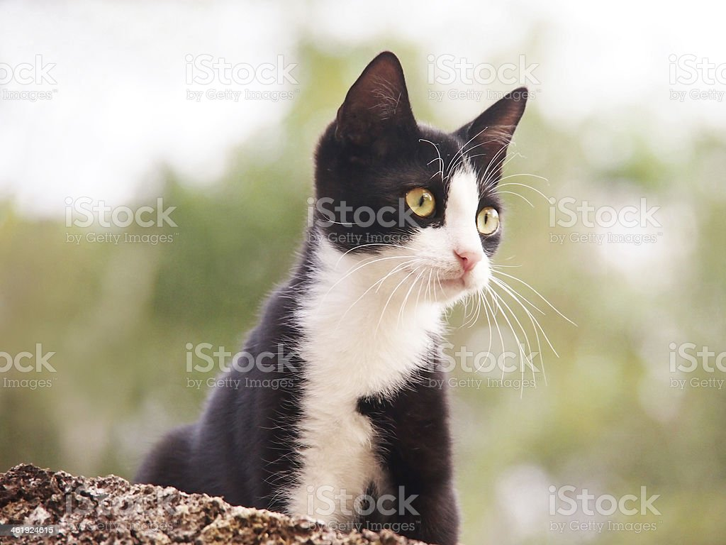 young cat, black and white stock photo