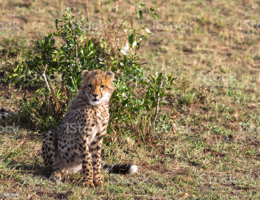 Young cat cheetah near tree. Masai Mara, Kenya stock photo