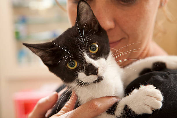 Young Cat Comforted by Veterinary Technician Prior to Surgery stock photo