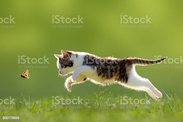 Young cat hunting butterfly picture id500175633?b=1&k=6&m=500175633&s=612x612&h=u eg6fp6ixt7eguptilur87eyj22q ub yd6gzxw5oq=