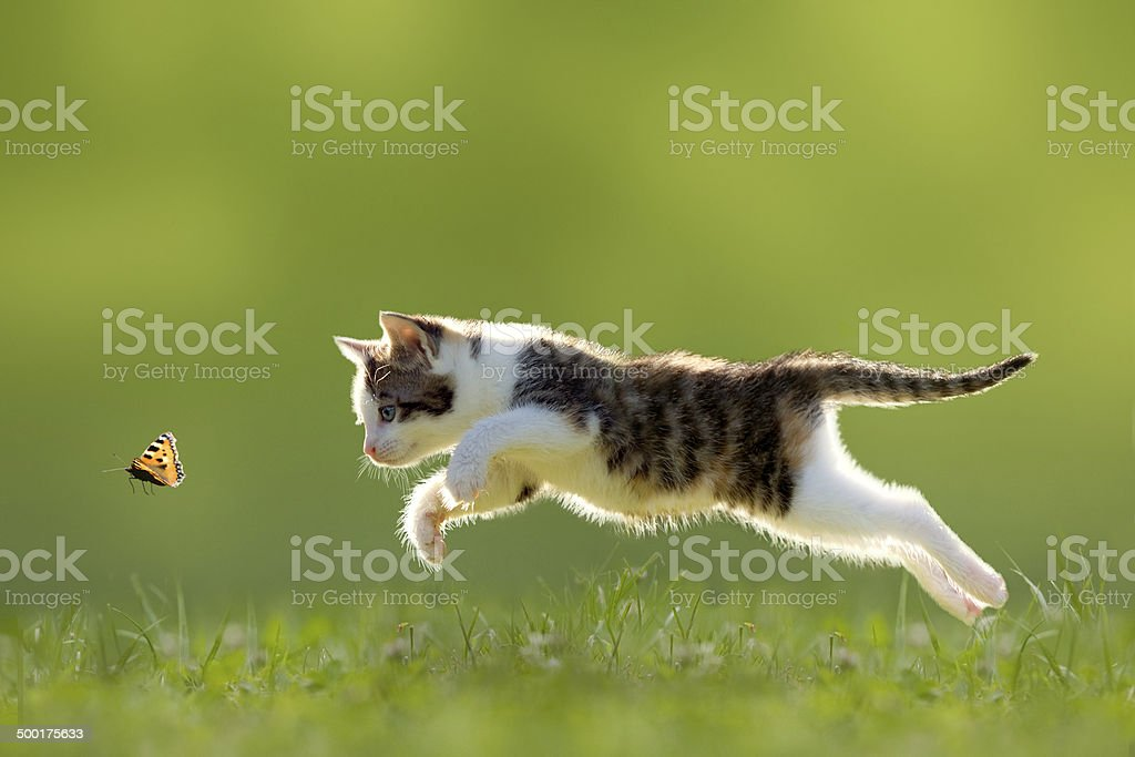 young cat hunting butterfly stock photo