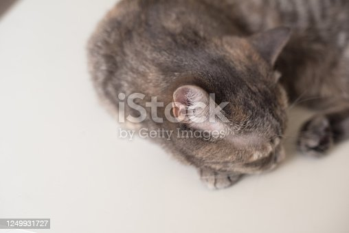 626958754 istock photo Young cat is sleeping on a white surface. Young pet is resting 1249931727