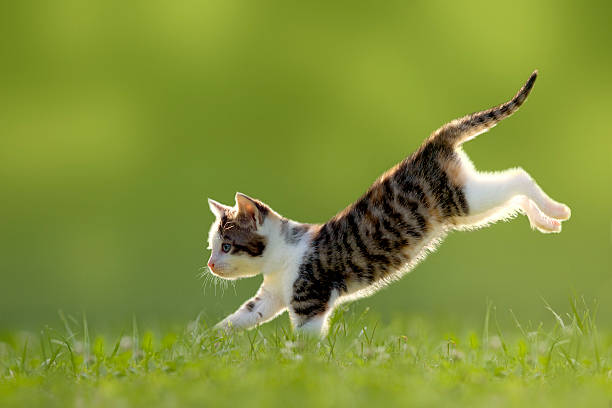 Young cat jumps over a meadow backlit picture id500175731?b=1&k=6&m=500175731&s=612x612&w=0&h=g2tr8e2w1yhrr6lkyxfdloj mfbjjfg3dtpr62wy3ec=
