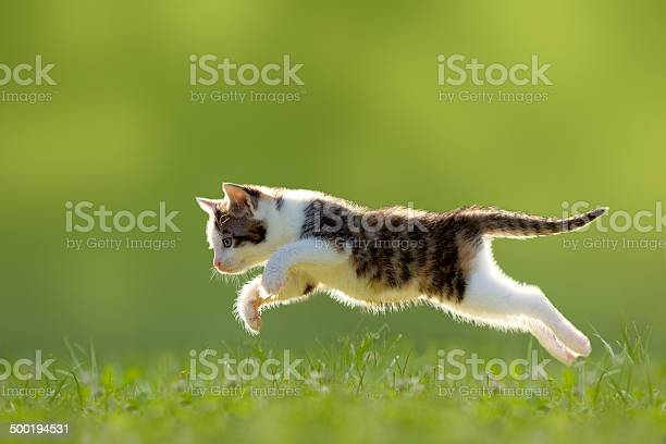 Young cat jumps over a meadow backlit picture id500194531?b=1&k=6&m=500194531&s=612x612&h=vty5mneyh5pldjeuhpacp4qhehqgb6kwfya7m10tve8=
