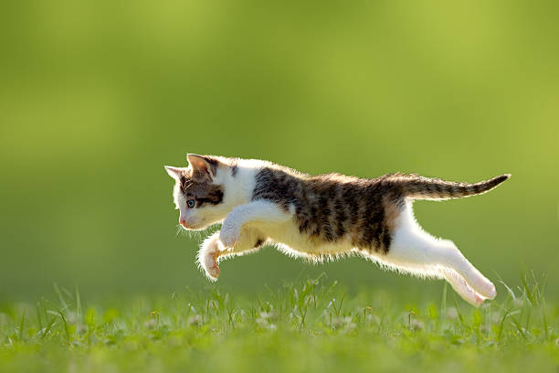 Young cat jumps over a meadow backlit picture id500194531?b=1&k=6&m=500194531&s=612x612&w=0&h=vx0lzkpdwfkzuwbjrb9nwjgouvbqbzhuqevhcgijrza=