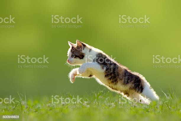 Young cat jumps over a meadow backlit picture id500946603?b=1&k=6&m=500946603&s=612x612&h=0gnlo5k4wsemwcsrjppqhcmbvajlskrntu cw lz93w=