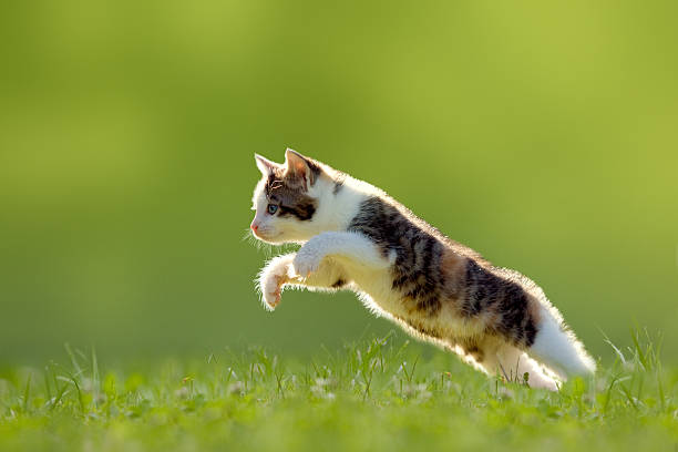 Young cat jumps over a meadow backlit picture id500946603?b=1&k=6&m=500946603&s=612x612&w=0&h=d5bygytjmmb919ind0 fhaghybc4iczciwg qju7wks=