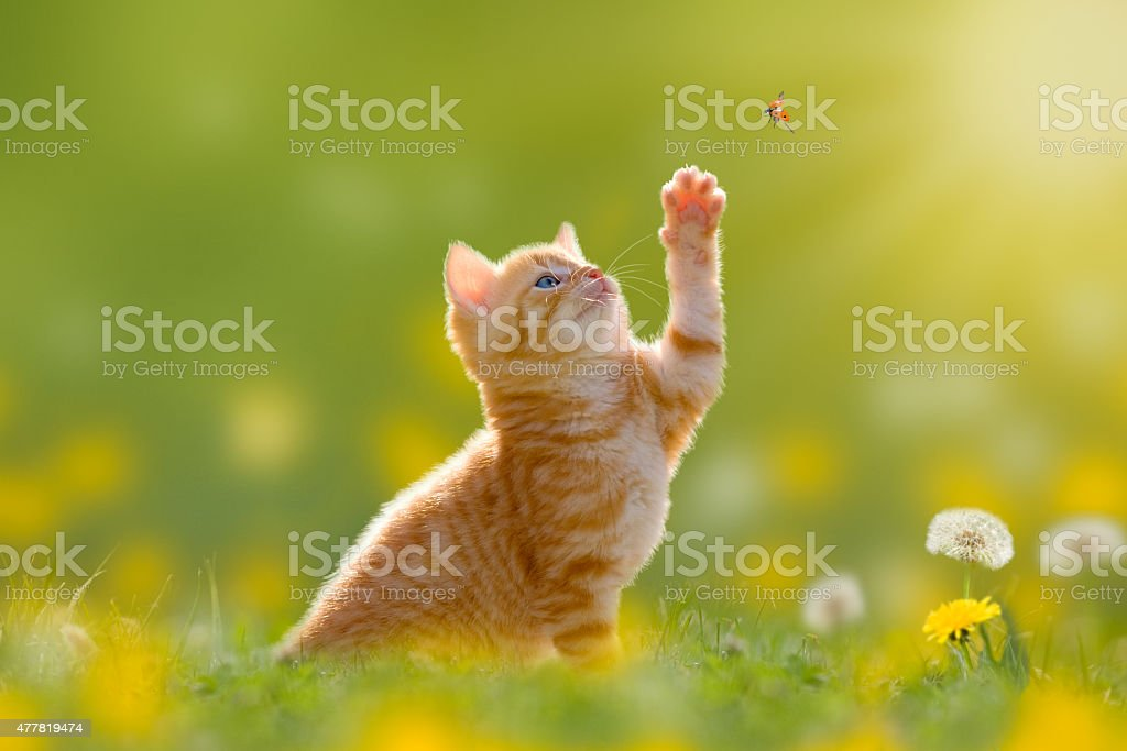 Young cat / kitten hunting a ladybug Back Lit stock photo