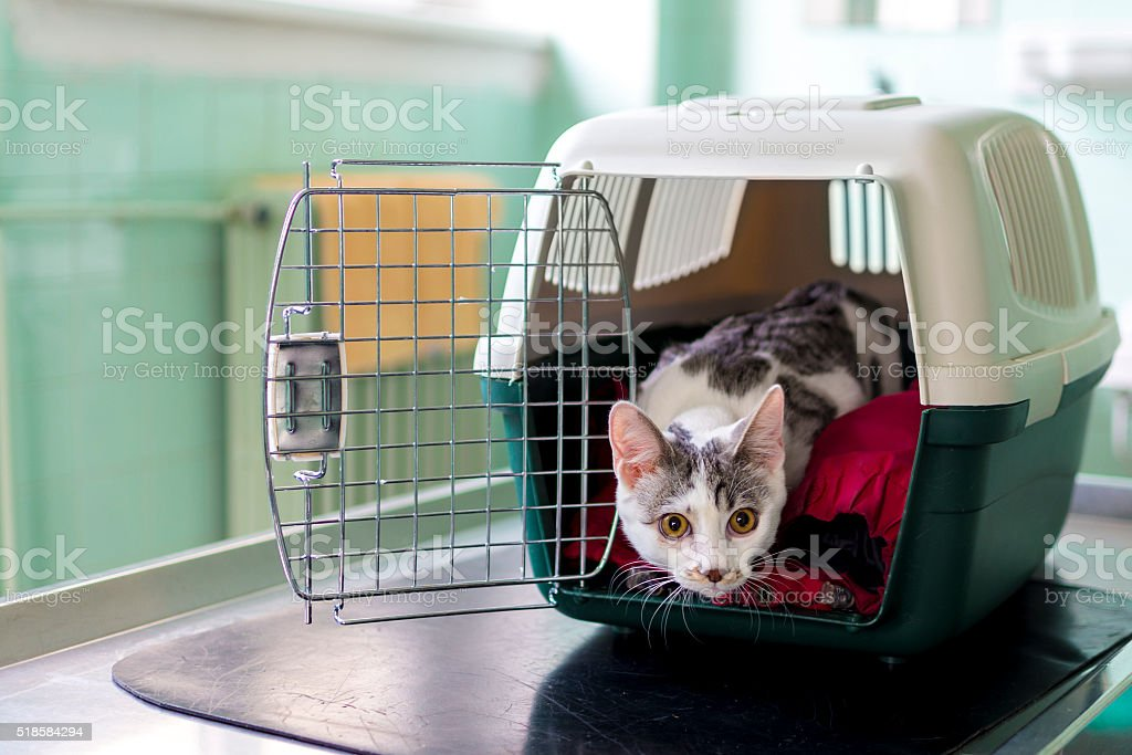 Young cat looking from the pet carrier at the vet ordination stock photo