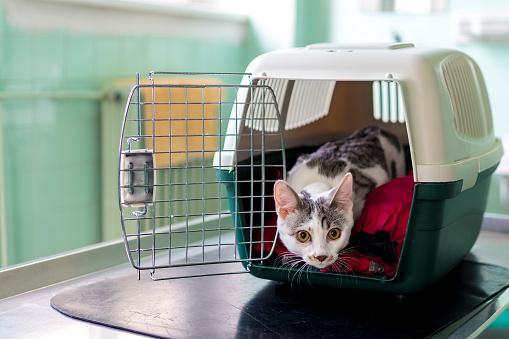 若いてペットの猫はキャリアに獣医 調整 - まぶしいのストックフォトや画像を多数ご用意