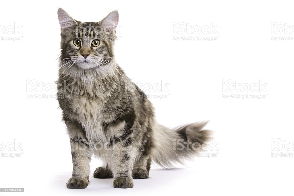 Young cat, Maine coon royalty-free stock photo
