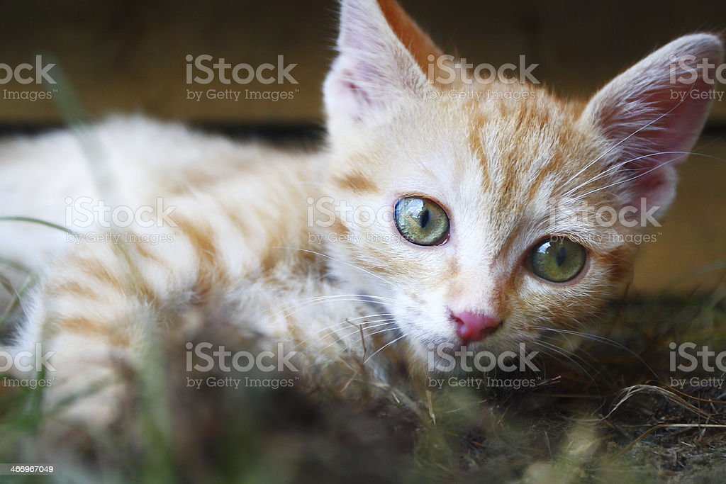 Young cat royalty-free stock photo