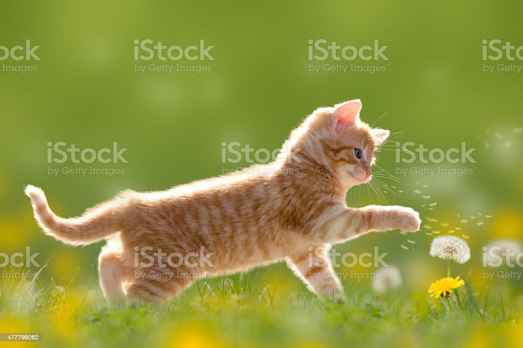 Young cat plays with dandelion in Back light stock photo