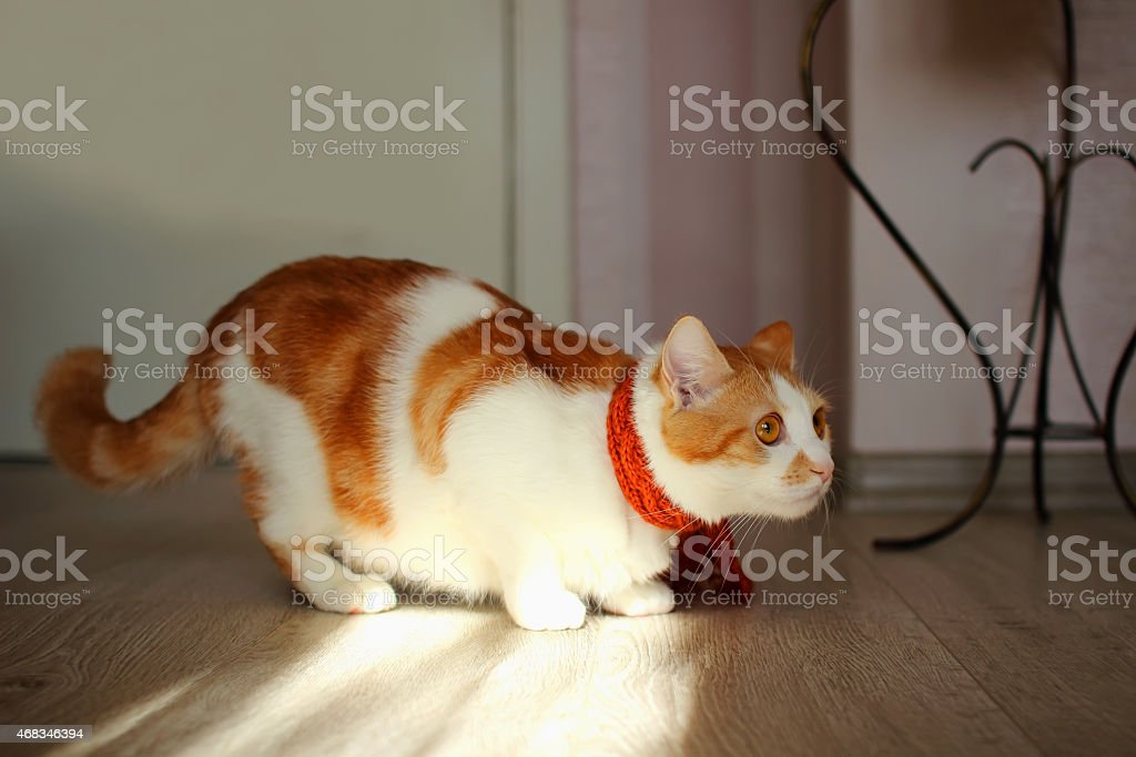 Young cat preparing to pounce. royalty-free stock photo