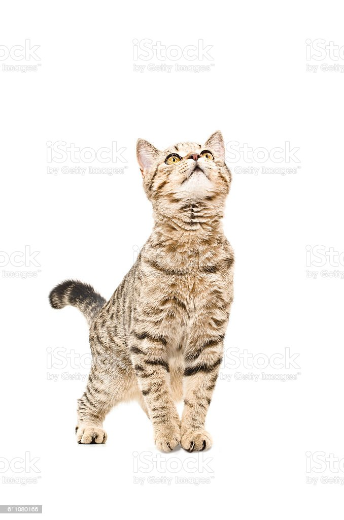 Young cat Scottish Straight curious looking up stock photo