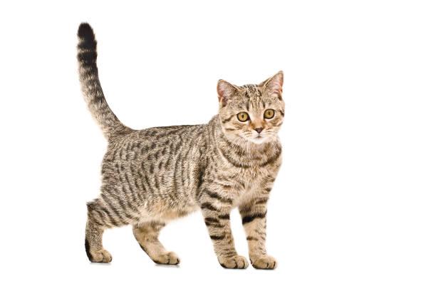 Young cat scottish straight picture id1098182434?b=1&k=6&m=1098182434&s=612x612&w=0&h=2g6rnnfa7krcnesnbhptee4btbq5vjqtd3ezq5gvkbs=