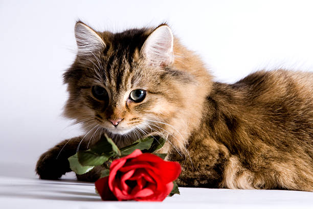 Young cat with a rose  kitten cute valentines day domestic cat stock pictures, royalty-free photos & images