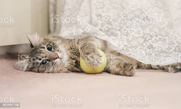 Young cat with a tennis ball picture id522552700?b=1&k=6&m=522552700&s=612x612&h=7vnxvjpuy4ovpn9n5sjsfqwzdqcroehto3xnxfrz8vw=