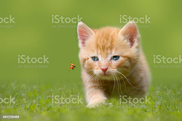 Young cat with ladybug on a green field picture id494209489?b=1&k=6&m=494209489&s=612x612&h=652rtufd xfeq  tx1sli ue0hgnu1a1zoctwd9ocag=