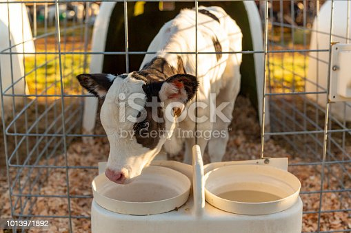Young Cattle Calf in a Stall for Hand Rearing