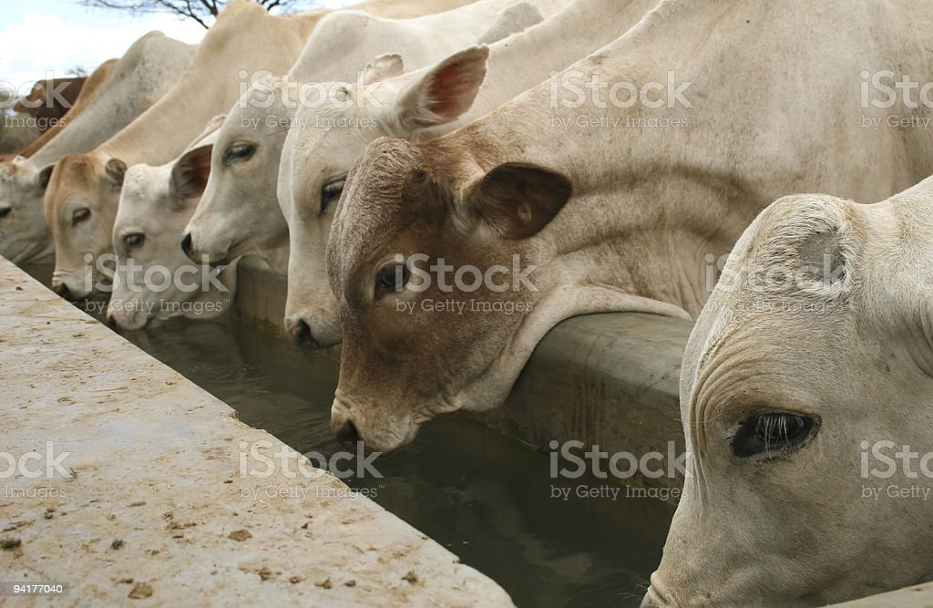 Young cattle drinking water in Isiolo, Kenya stock photo