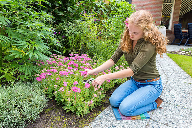 Young caucasian woman pruning sedum flowers Young dutch woman pruning sedum flowers in garden. This long haired caucasian woman is kneeling on the garden path to cut some pink flowers and put them on a vase in the house. She also wears an echinacea flower in her long blond hair. She love's gardening on a sunny day in summer season. Concept of, active,activity,nature,garden,gardening,cutting,flower,flowers,bloom,blooming,flowering,blossom,blossoming. sedum plant stock pictures, royalty-free photos & images