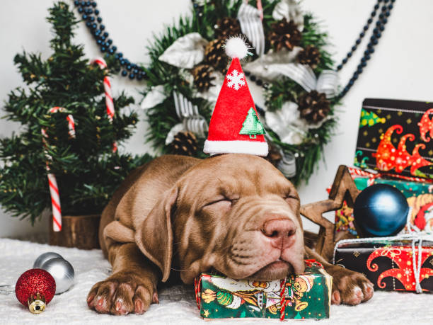 Young charming puppy and a festive box picture id1178037054?b=1&k=6&m=1178037054&s=612x612&w=0&h=r khxfvi84xuhihzgkp67vesosmb4ctp9ejgpmqpxxc=