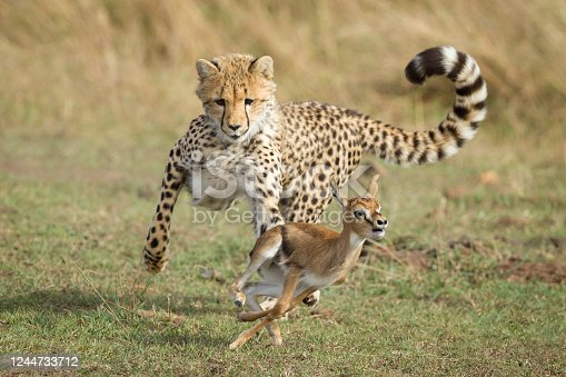 Young Cheetah cub with curled up tail chasing a small baby Thompson's Gazelle learning to hunt in the savannah of Masai Mara Kenya