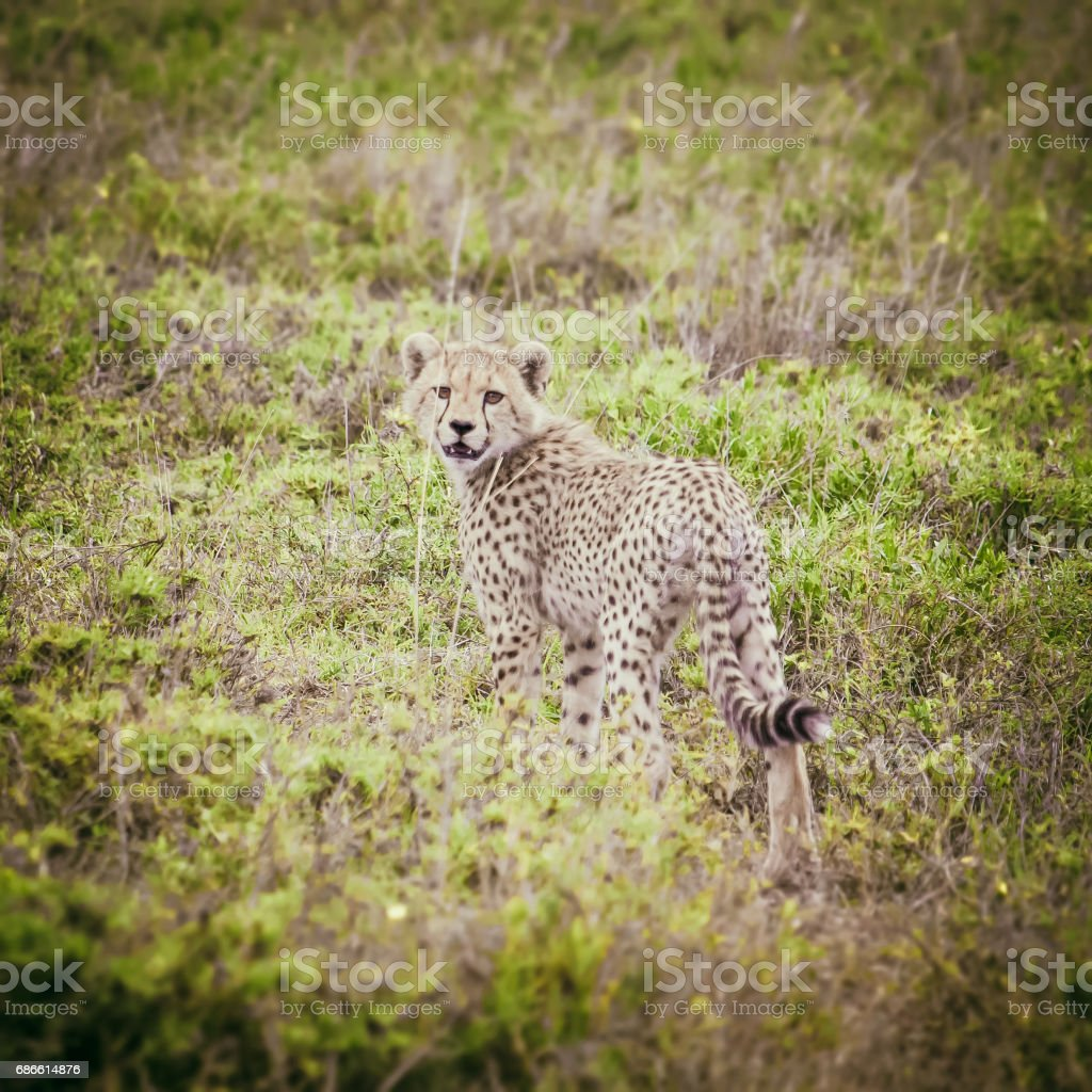 Young cheetah in african savanna royalty-free stock photo
