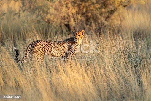 A young cheetah scanning the bush on a hunt in the Kalahari desert