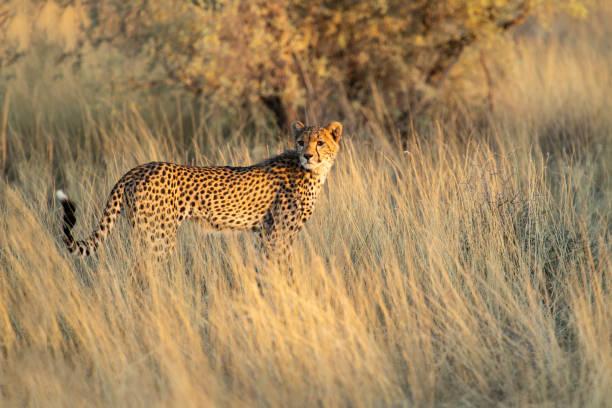 Junge Geparden auf der Jagd in der Kalahari – Foto