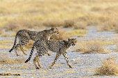 Young cheetas walking in the savannah