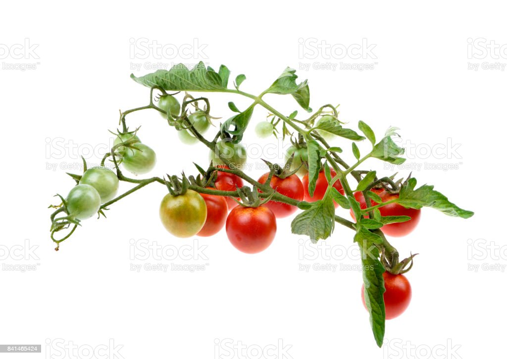 Young cherry tomato on the bushe stock photo