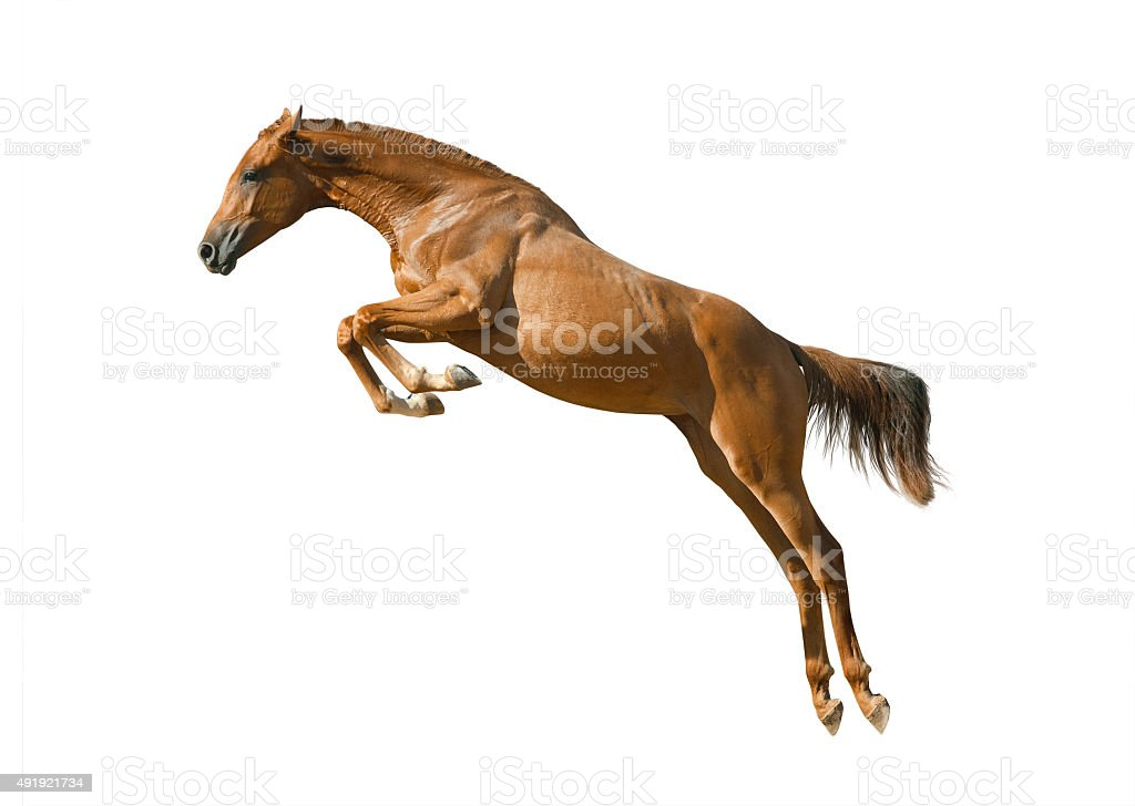young chestnut horse jumping stock photo