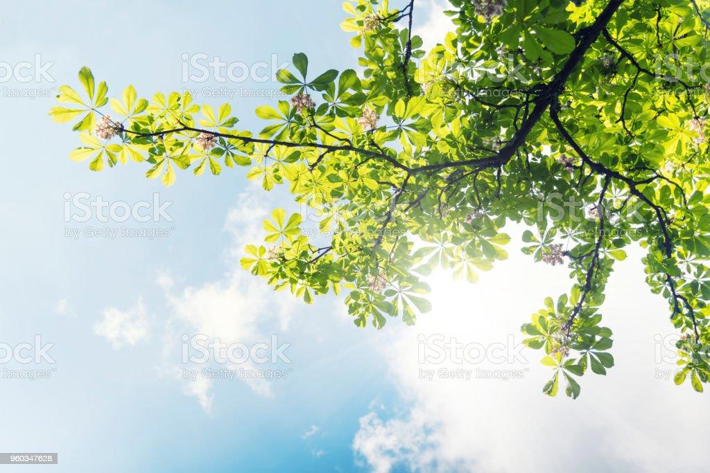 Jungen Kastanien Blätter mit Blüte gegen blauen Himmel – Foto