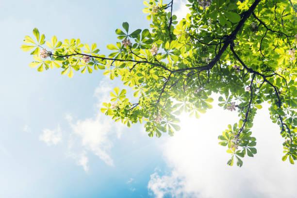 young chestnut leaves with blossom against blue sky - лесистая местность стоковые фото и изображения