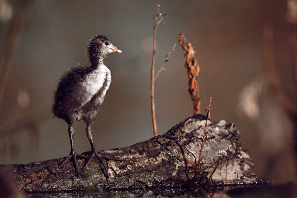 Young chick  Eurasian coot - Fulica atra, stands on the wood near the nest. Wildlife scene from Czech republic. Animal in nature habitat.A typical spring photo stock photo
