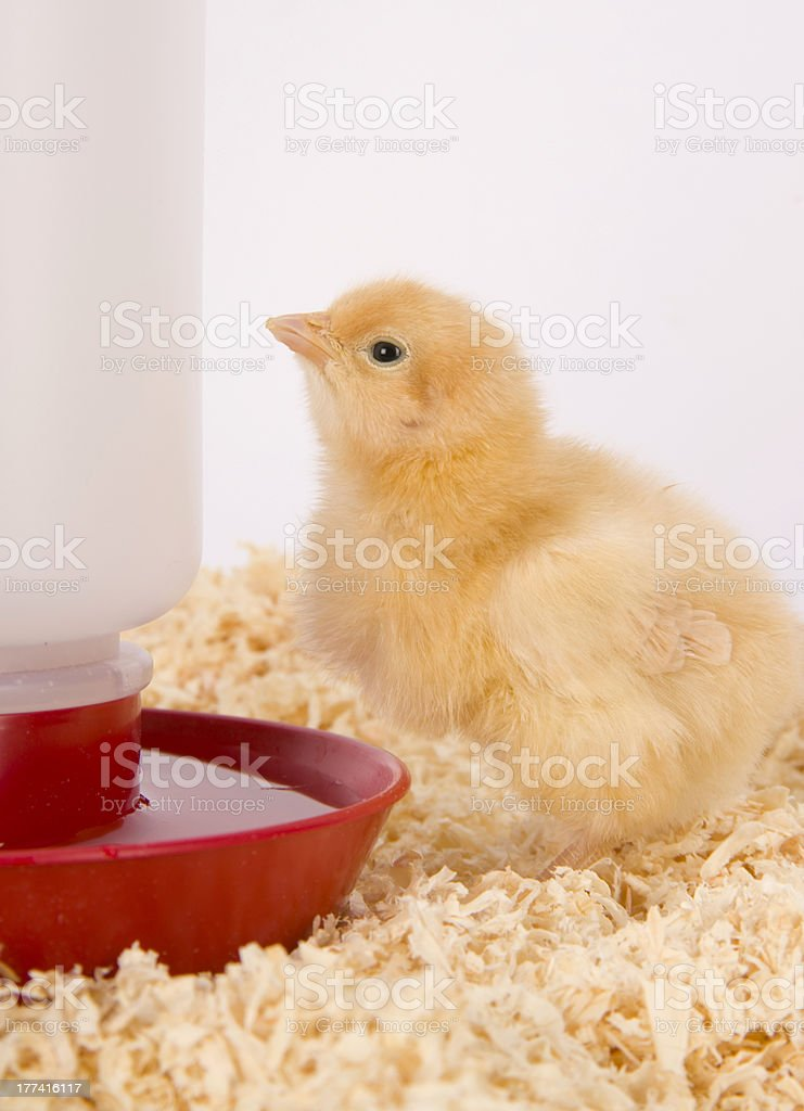 Young Chicken Alone in Sawdust Bedding Near Water Dispenser royalty-free stock photo