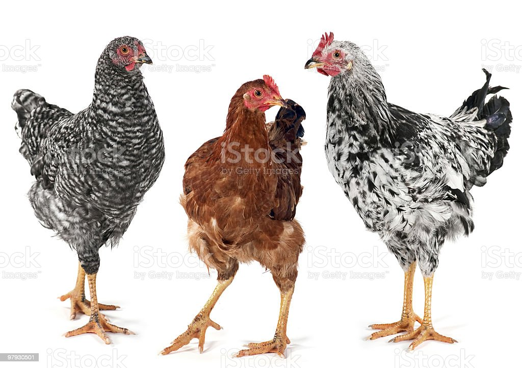 Young chicken hen and rooster royalty-free stock photo