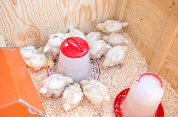 young chicken in the box with food and water stock photo