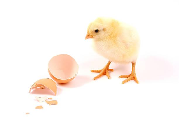 Junge Huhn – Foto
