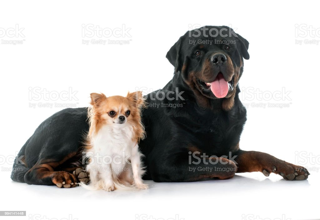 young chihuahua and rottweiler stock photo