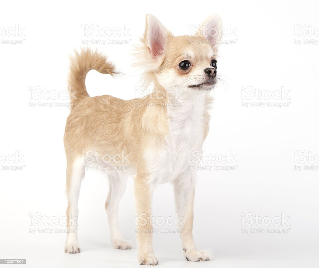 young chihuahua dog stacking  in show position stock photo