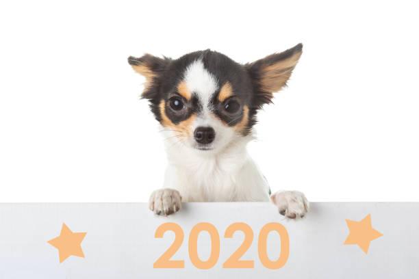Junger Chihuahua mit einer 2020-Karte – Foto