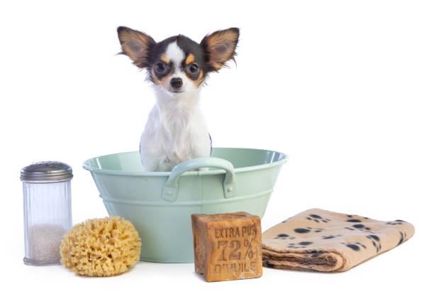 Junge Chihuahua in einem grünen Becken waschen – Foto